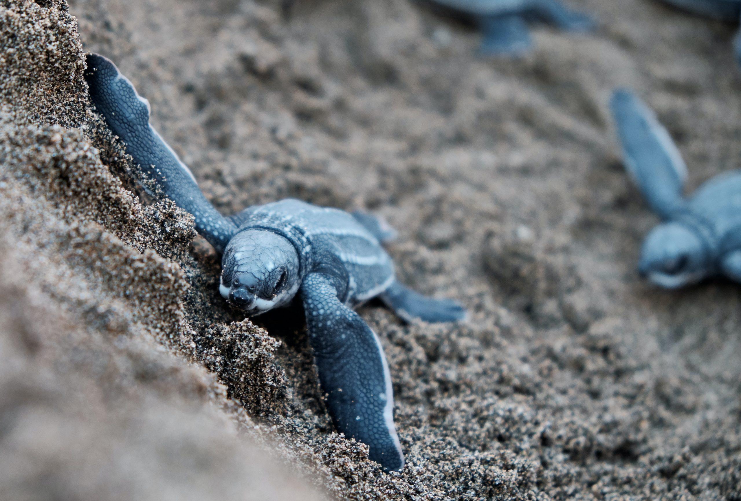 Petite tortue en route pour l'océan