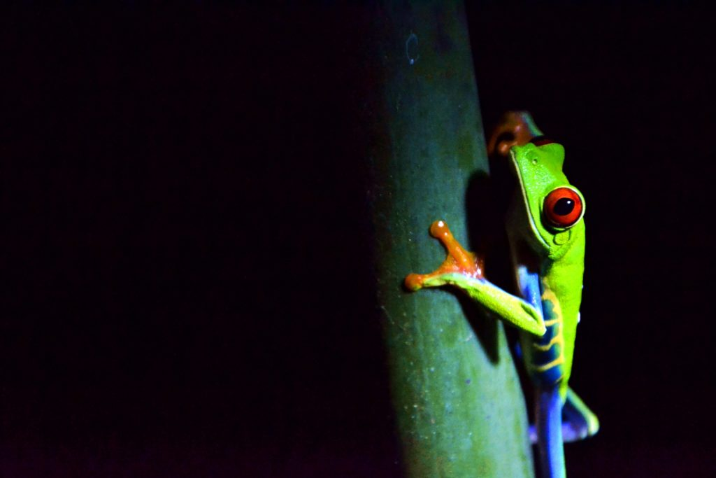 Grenouille-yeux-rouges-costa-rica