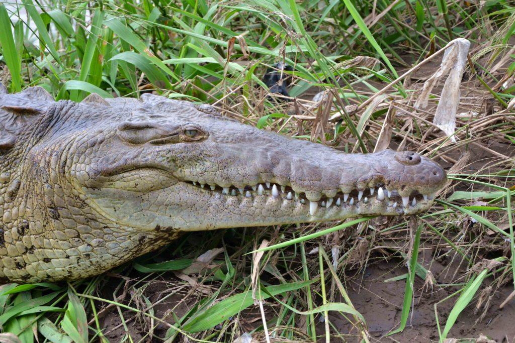Crocodile tour de bateau sur le rio Tarcoles