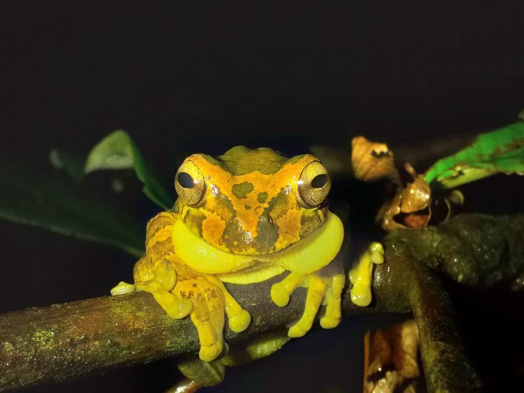 Grenouille masquée jaune