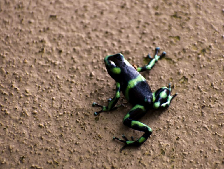 Dendrobate doré grenouille amphibien costa rica