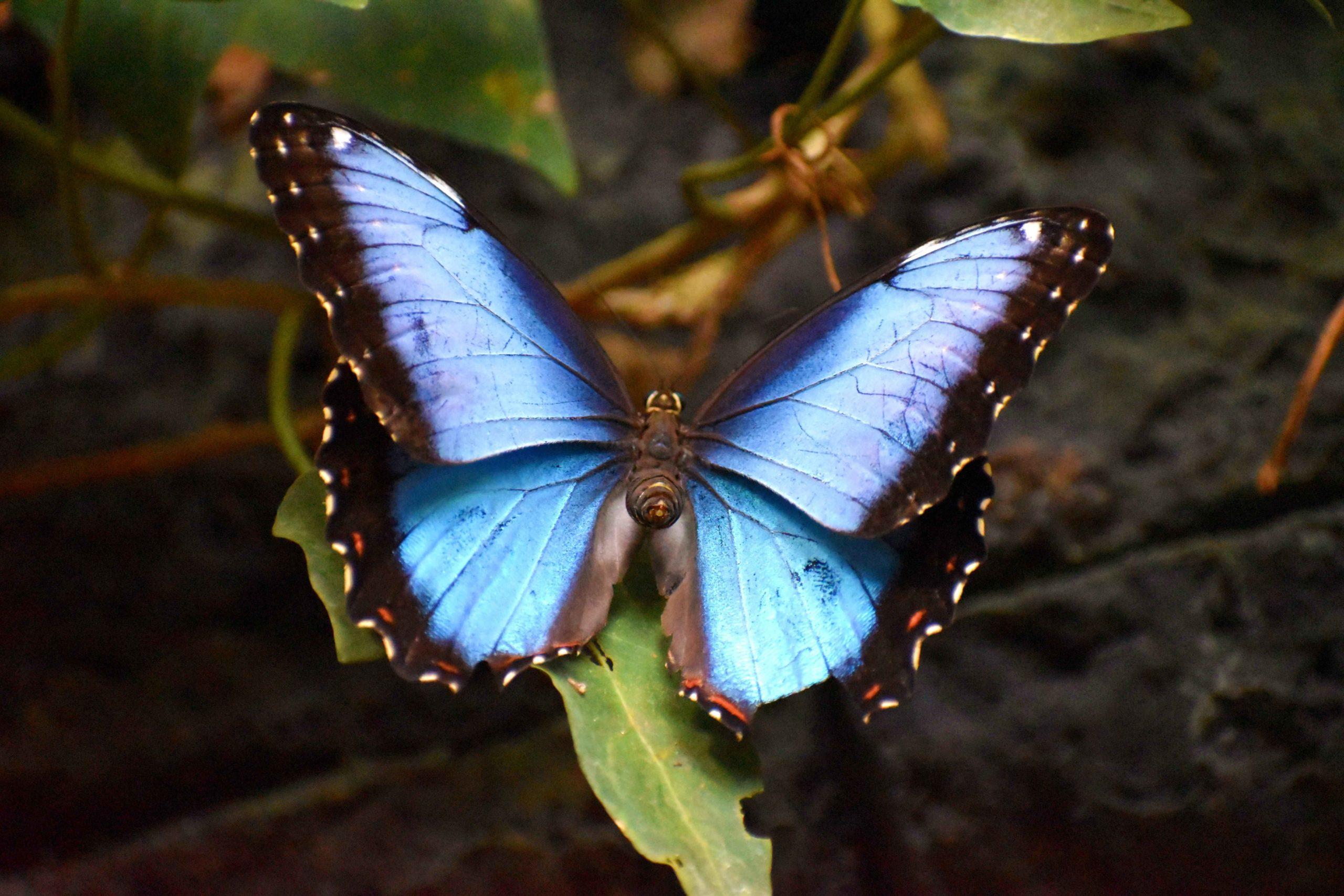 Papillon Blue Morpho bleu Costa Rica