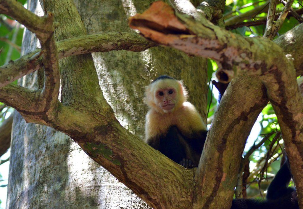 Singe Capucin au Parc Manuel Antonio