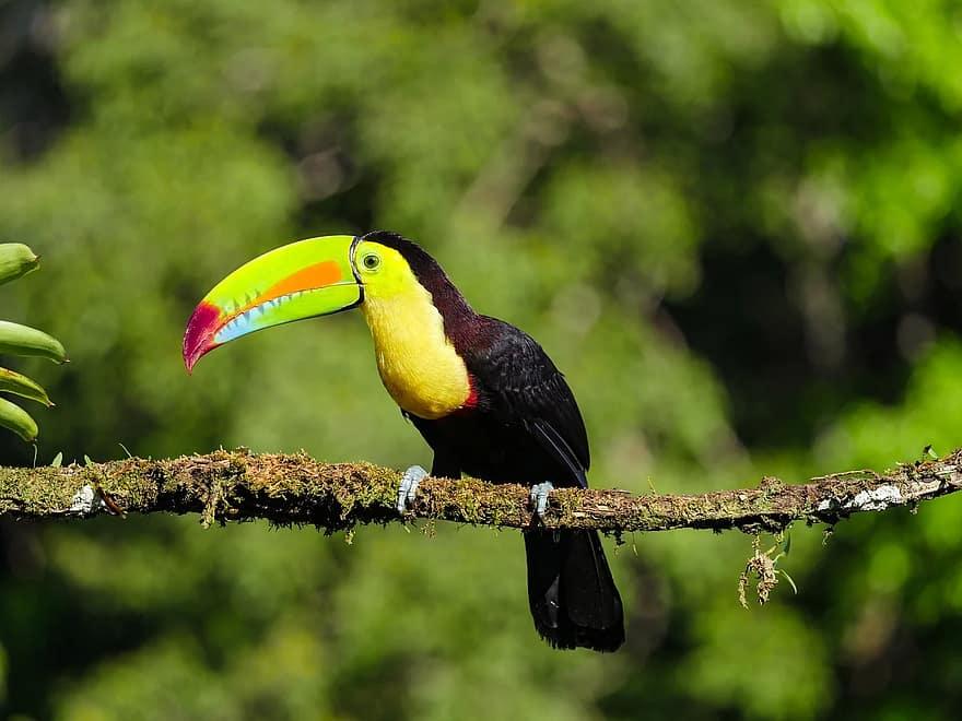 Toucan à Carène Costa Rica