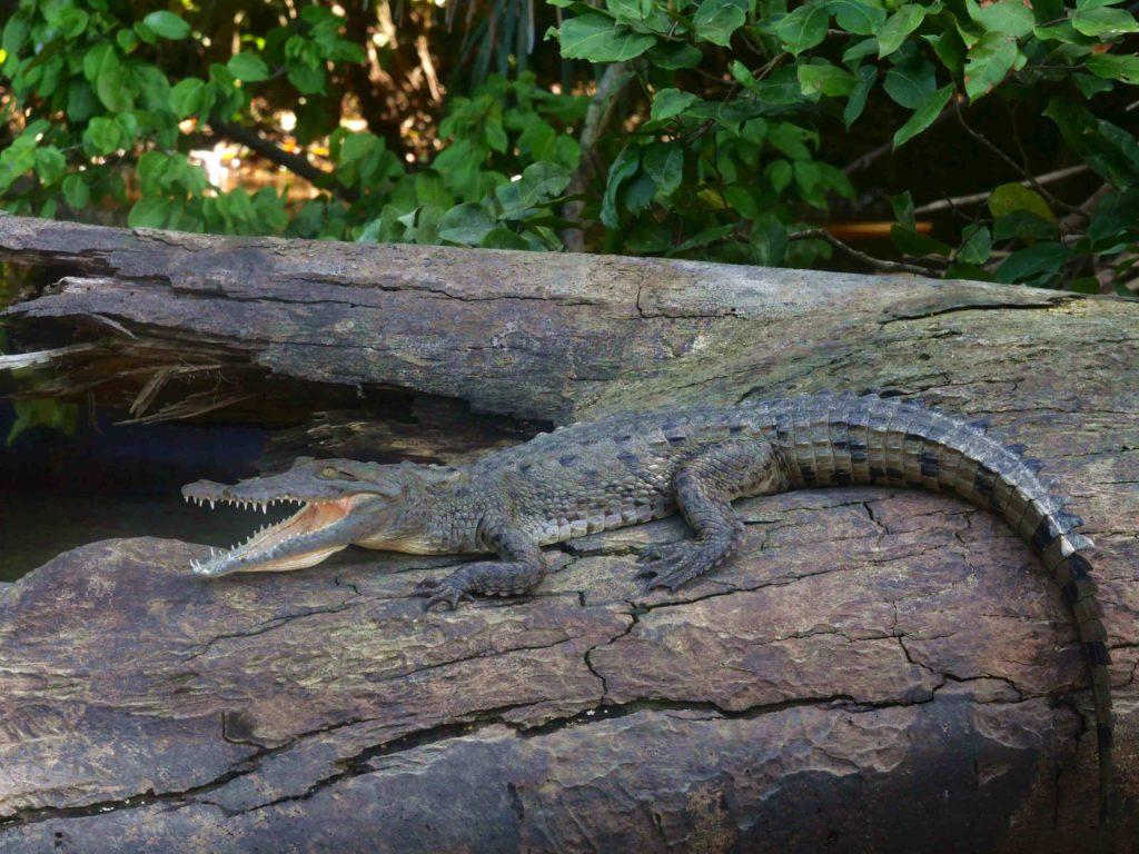 Caïman Tortuguero Costa Rica