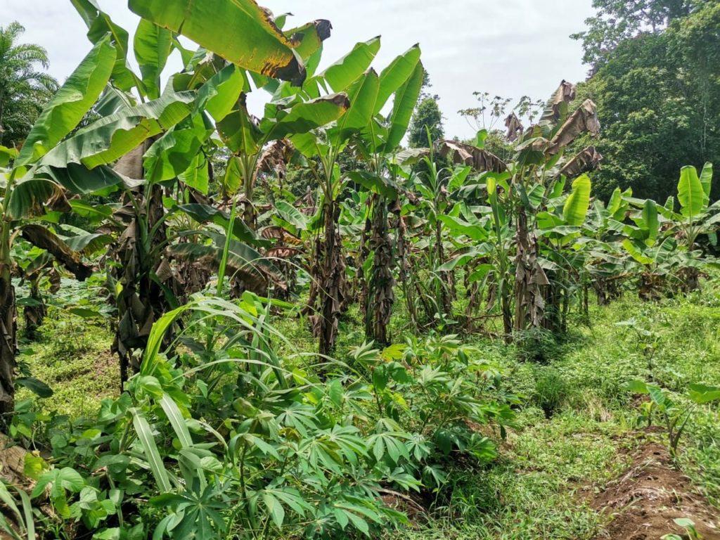 Gandoca bananes grands