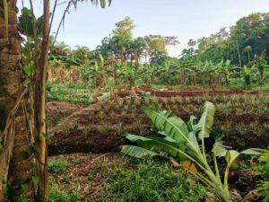 projet Kanaki Gandoca champs bananes