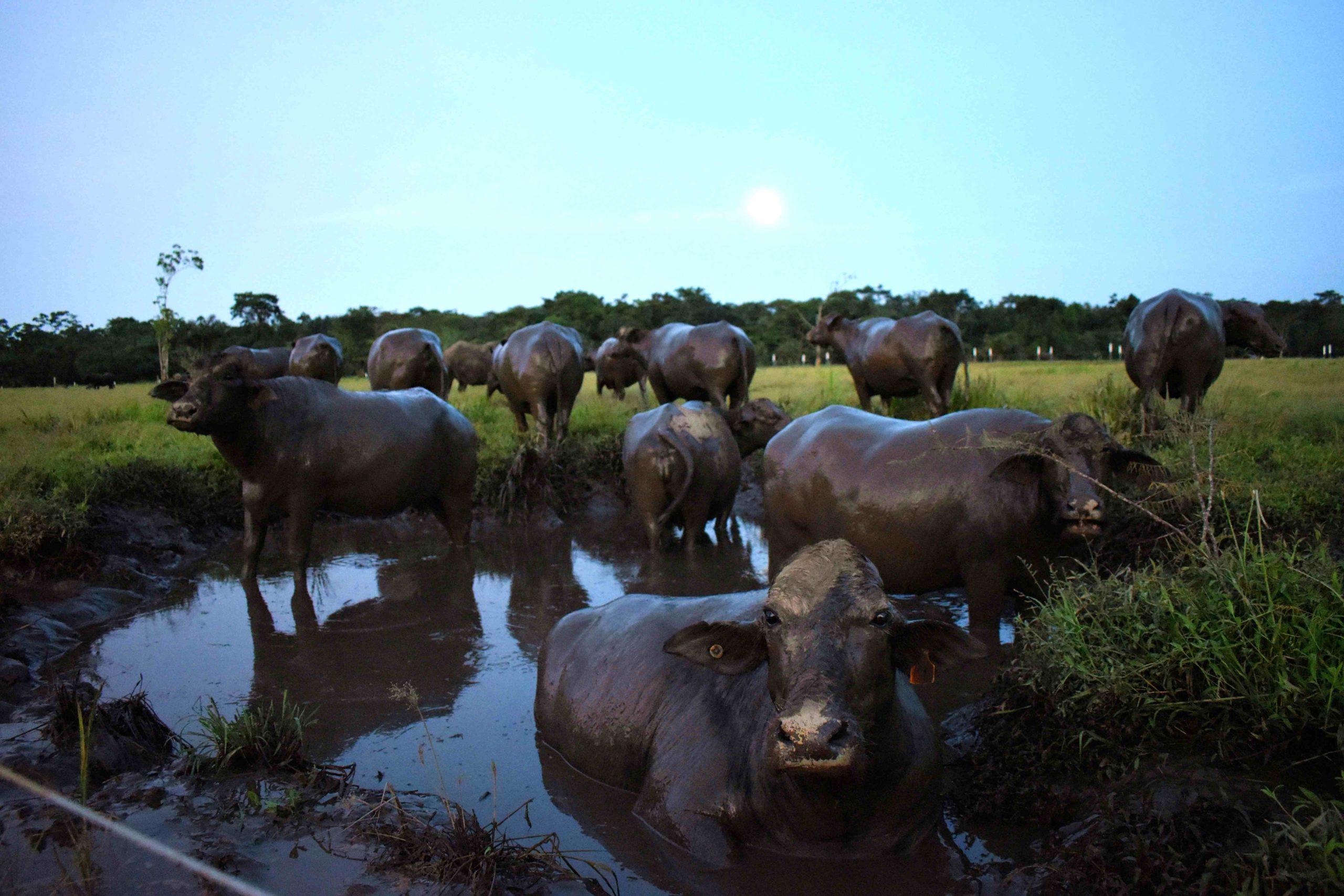 Buffalos hacienda roswitha Costa Rica