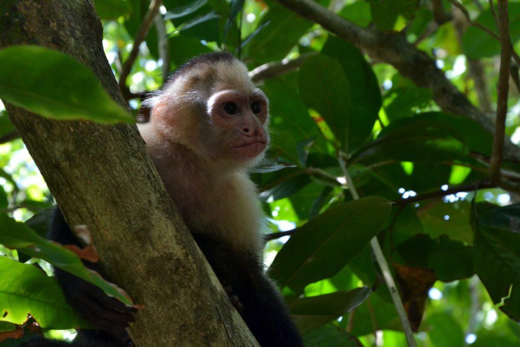 singe capucin mammifère Sarapiqui costa rica