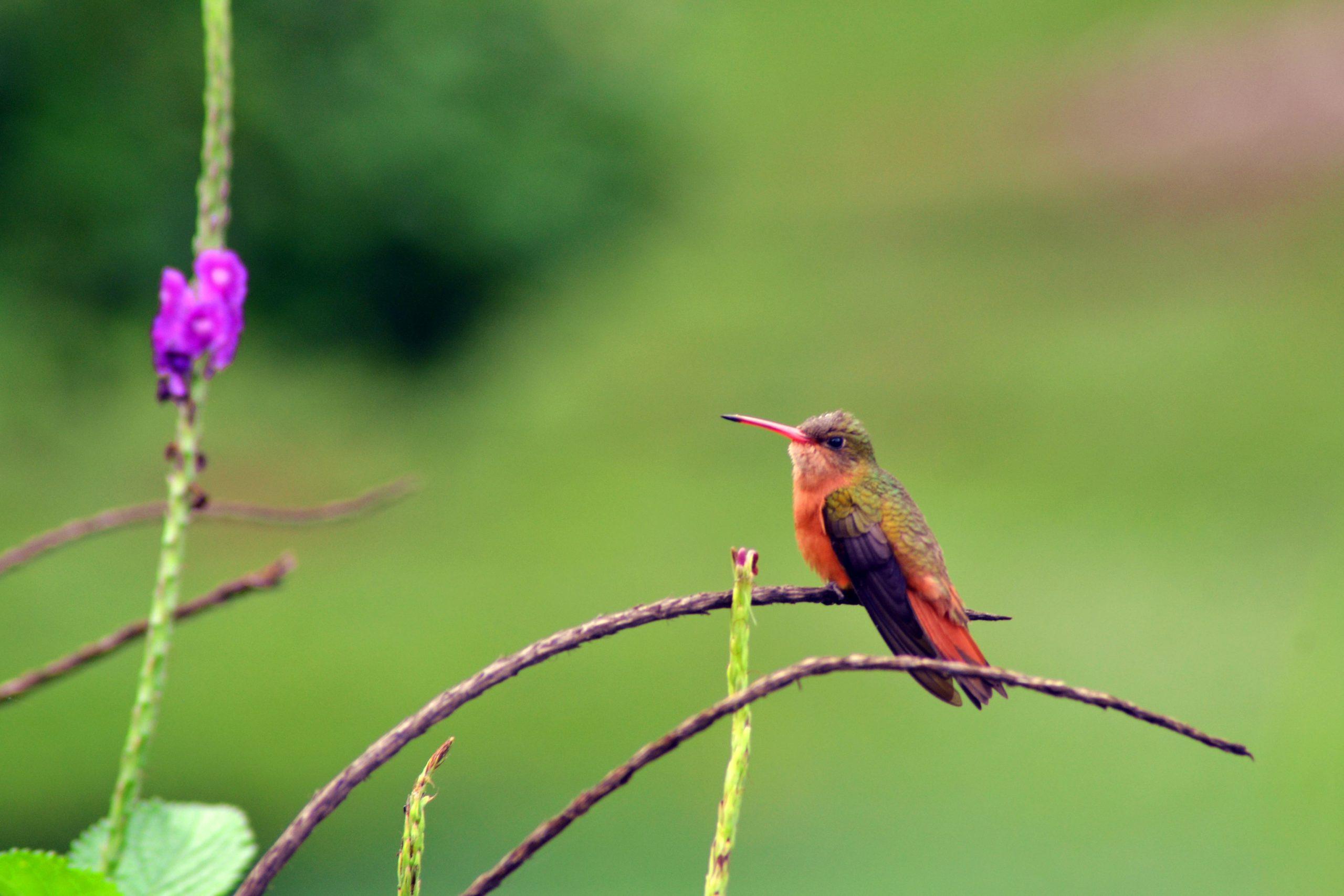 Colibri Ariane Cannelle