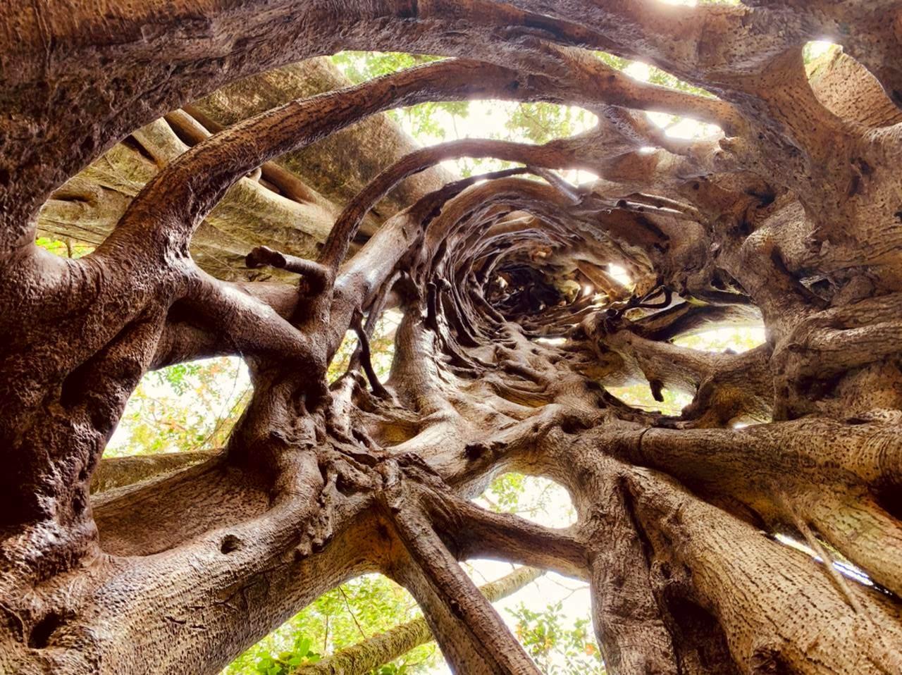 Ascension d'un ficus étrangleur à Monteverde