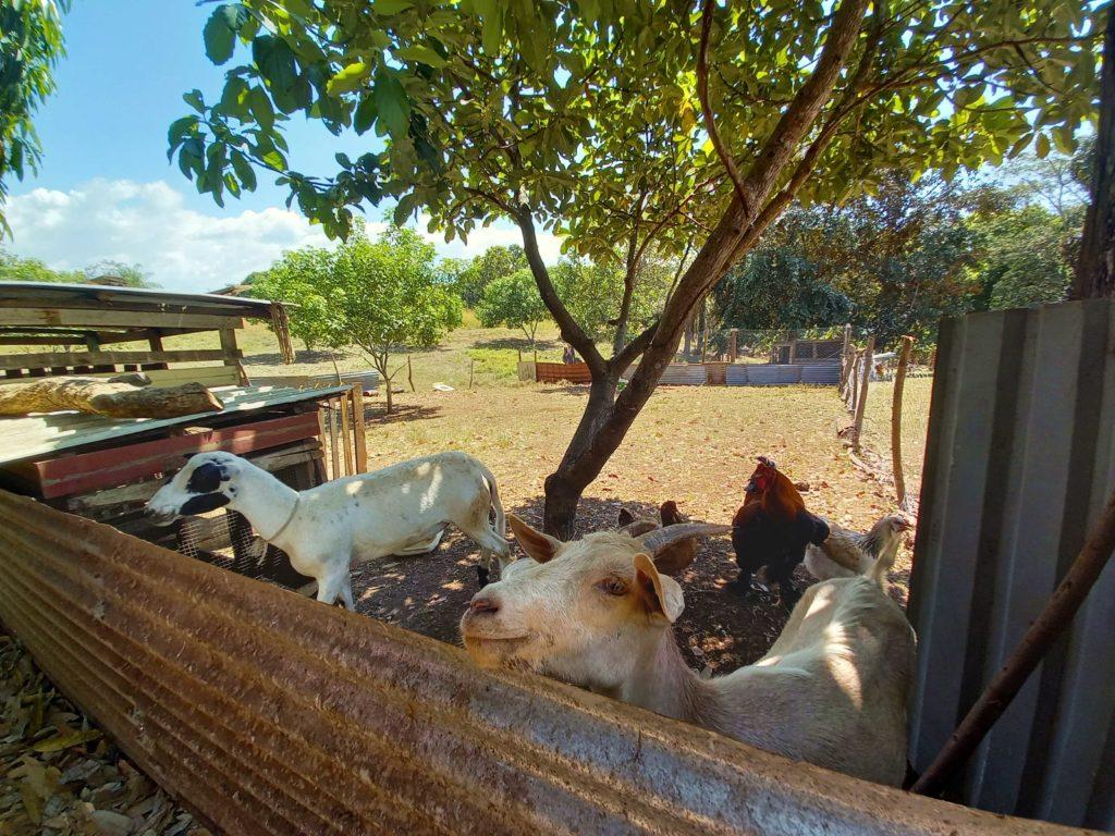 Chèvres Finca el fenix