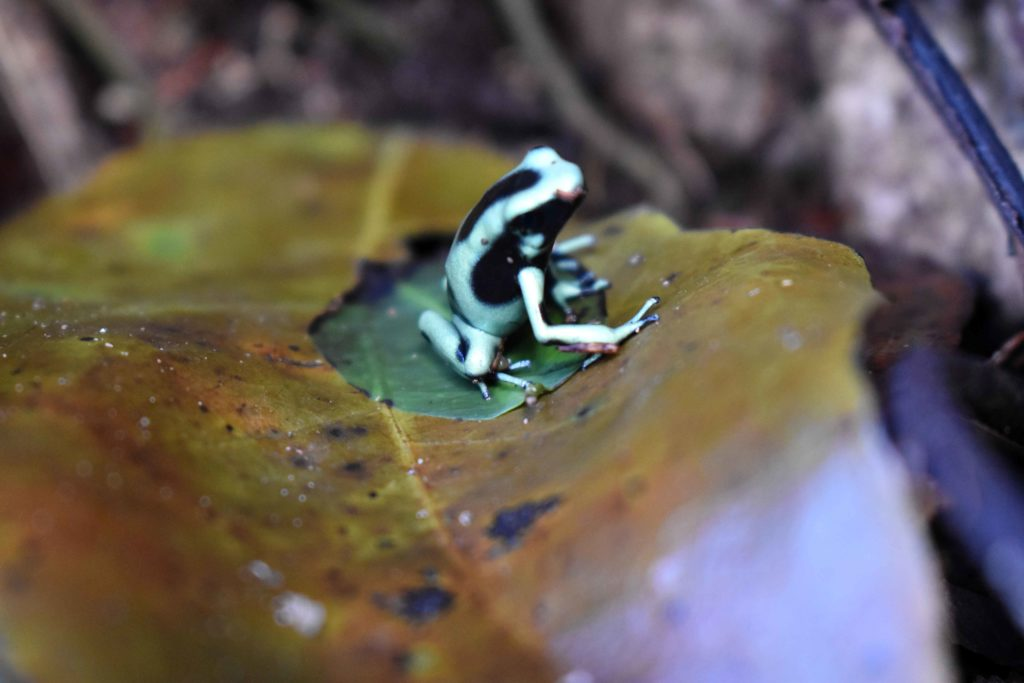 Dendrobate doré Tapirus Lodge Costa Rica