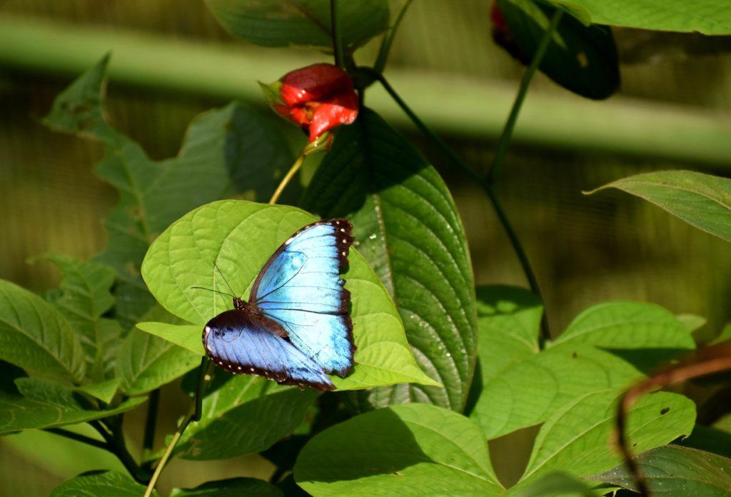 Papillon morpho bleu COsta Rica